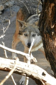11 Mexican Wolf